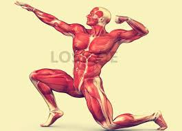 Musculature Fitness And Posture