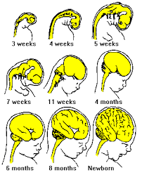 Stages of Early Brain Development